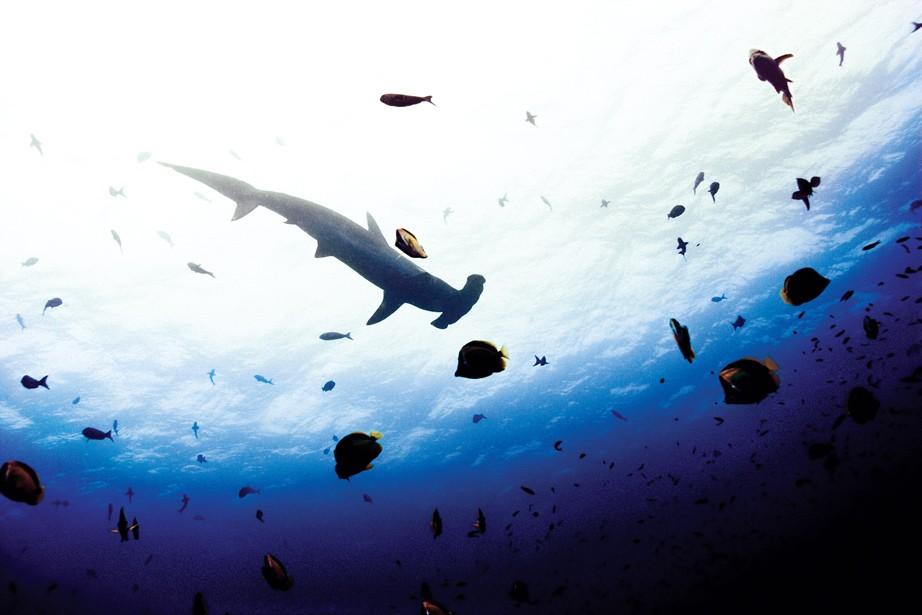 Tubarão-martelo-recortado/ Galápagos, Equador (Foto: ©Michael Muller / Taschen / CPi Syndication )