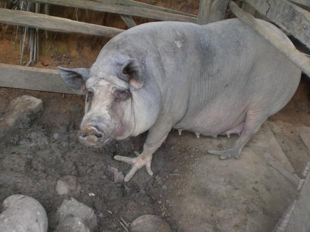 Porcos com pés de galinha são encontrados no ES (Foto: Afonso Carlos da Silva/ Você no G1)