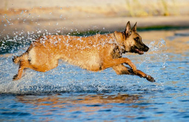 como_criar_pastor_belga_cachorro (Foto: Shutterstock)