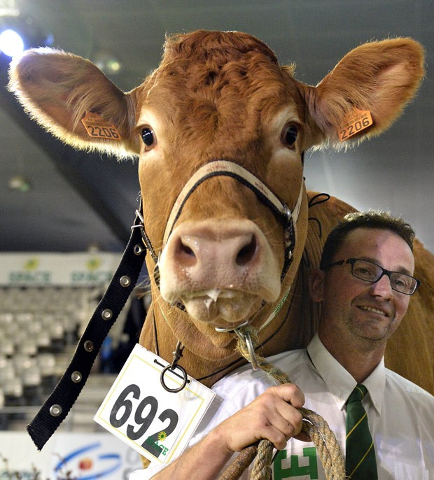 Vaca 'infidèle' levou o título de bovino mais bonito de competição na França (Foto: Jean François Monier/AFP)