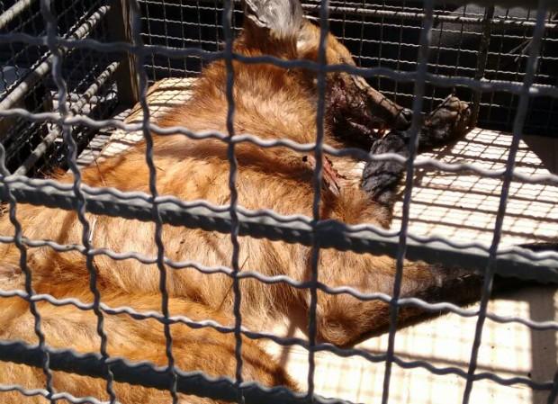 Lobo-guará foi encontrado em fazenda próximo a Itapecerica (Foto: Polícia Militar de Meio Ambiente/Divulgação)