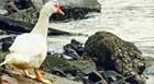 Pato vira atração em mar do Guarujá, em SP (Rogério Soares/A Tribuna de Santos)