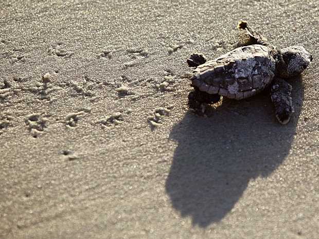 Tartaruga Carolina do Sul 4 (Foto: Randall Hill/Reuters)
