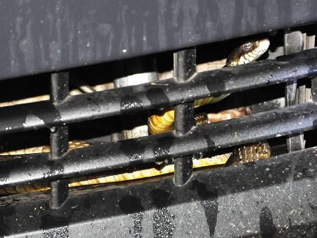 Cobra foi encurralada em compartimento de veículo por bombeiros (Foto: Dhiego Maia/ G1)