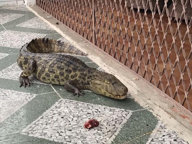 Jacaré tem cerca de 2 metros de comprimento e foi achado em Jaguaribe, João Pessoa (Foto: Walter Paparazzo/G1)
