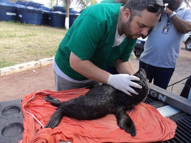 Lobo marinho é encontrado por pescador em praia do litoral de Alagoas (Foto: Divulgação/Instituto Biota de Conservação)