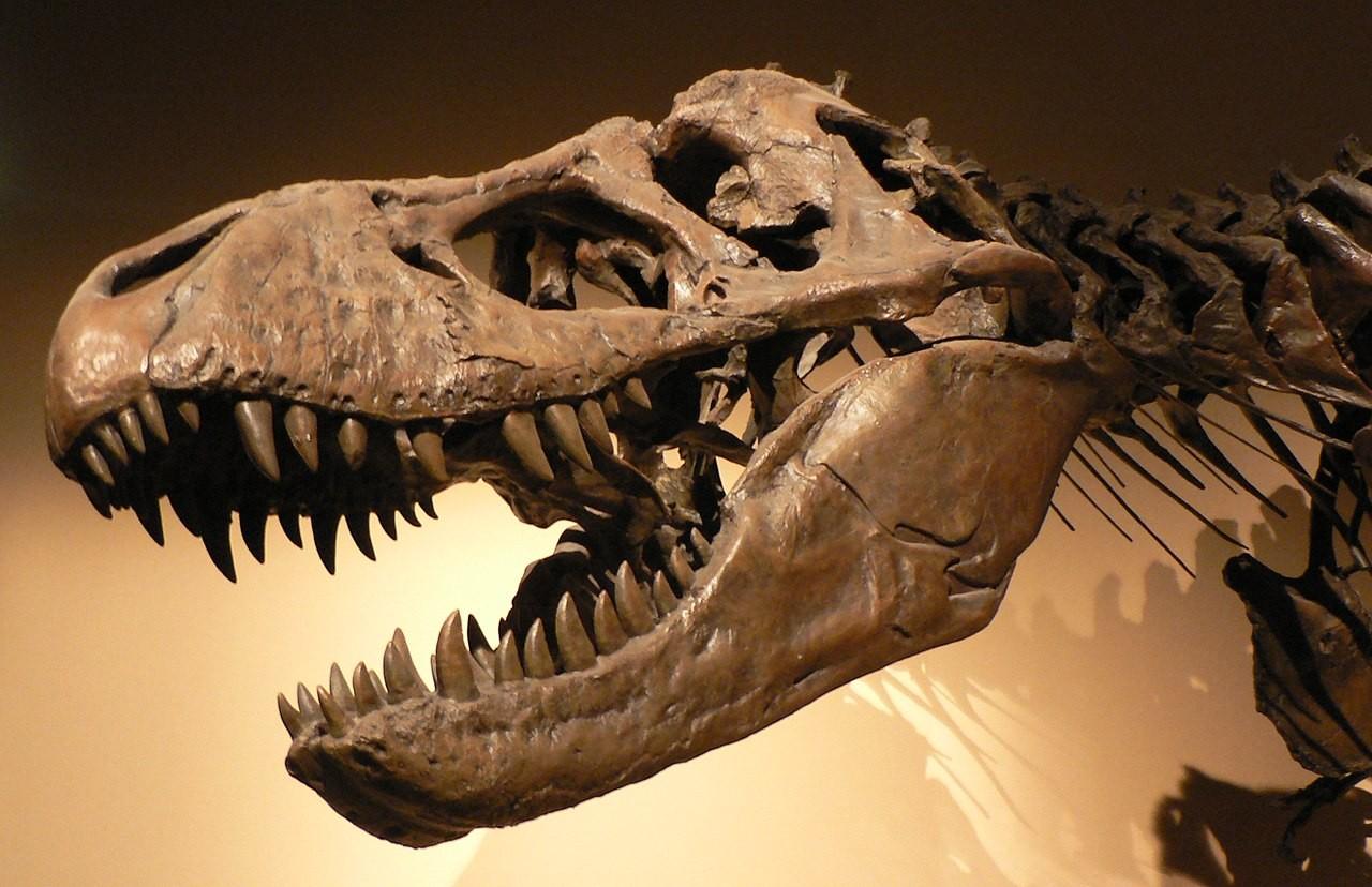 Fósseis de Tiranossauro Rex no Palácio da Descoberta, em Paris, França (Foto: Wikimedia Commons)