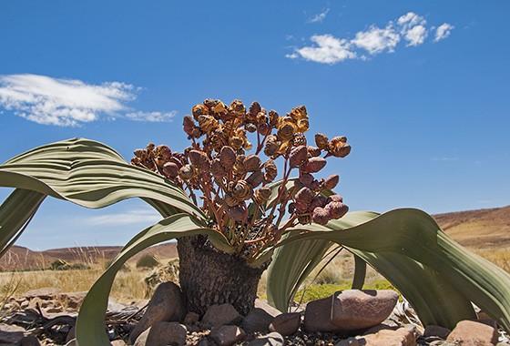 A welwítschia é uma planta diferente de todas que existem no planeta    (Foto: © Haroldo Castro/ÉPOCA)