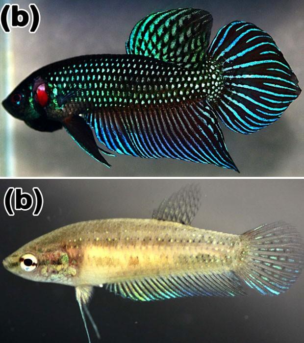 Acima, um exemplar macho da espécie 'Betta mahachaiensis'; abaixo, um exemplar fêmea  (Foto: Reprodução/Zootaxa)