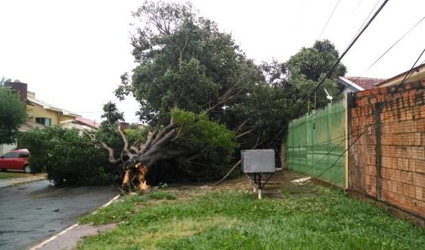 Árvore caiu após chuva e vento em Campo Grande no bairro Miguel Couto (Foto: Bruno Grubertt/TV Morena)