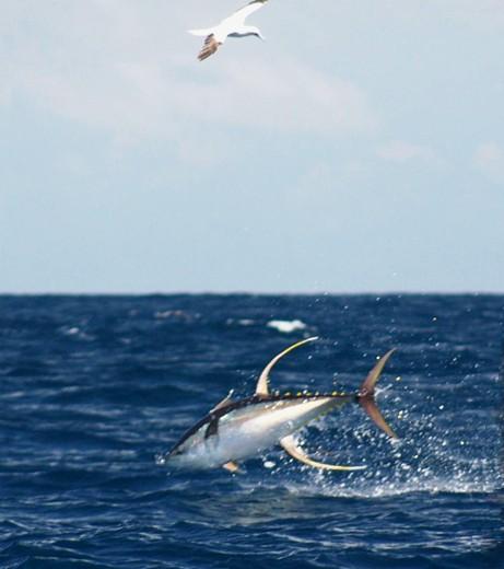 Exemplar de atum-albacora na costa da Venezuela (Foto: Divulgação/NOAA)