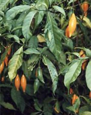 Planta 'Tabernanthe iboga', de onde é extraída a substância ibogaína (Foto: en:User:CiXeL/Wikimedia Commons )