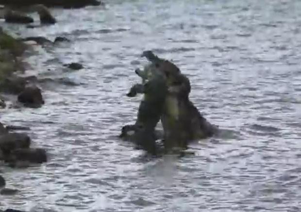 Gravação crocodilo enorme lançando rival para o alto após luta em rio (Foto: Reprodução/YouTube/Anthony Moore)