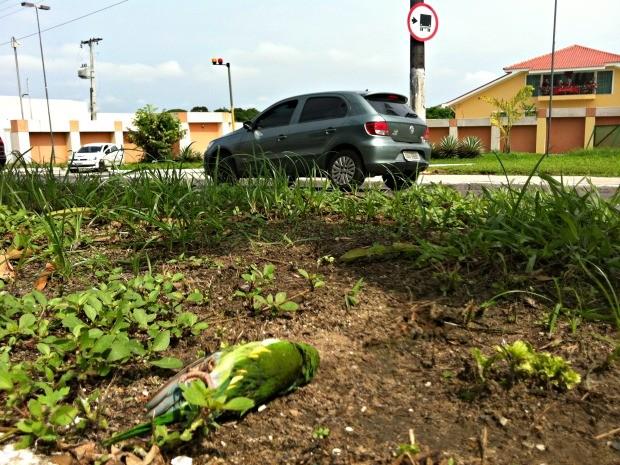 Periquitos foram encontrados mortos na manhã desta terça-feira (27) (Foto: Camila Henriques/G1 AM)