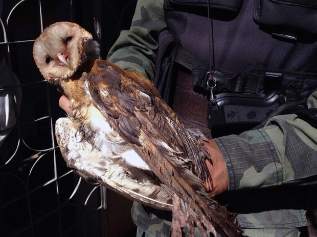Coruja foi resgatada pela Polícia Ambiental (Foto: Walter Paparazzo/G1)