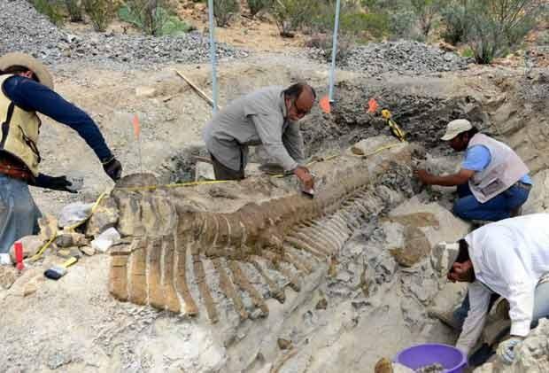 Pesquisadores mexicanos descobrem cauda completa de dinossauro, com 50 vértebras. (Foto: AFP Photo/INAH)
