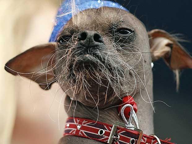 """O cão mais feio do mundo em 2012 é o cristado chinês """"Mugly"""". Ele confirmou favoritismo e foi eleito nesta sexta-feira (22) durante evento em Petaluma, no estado da Califórnia, nos Estados Unidos. Em sua 24ª edição, a competição contou com 19 concorrentes. (Foto: Kimihiro Hoshino / AFP Photo)"""