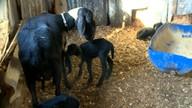 Produtores apostam na criação de ovelhas Santa Inês em Bagé