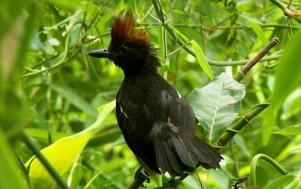 Vive em regiões mais quentes, em áreas ricas em vegetação arbustiva (Foto: Arquivo TG)