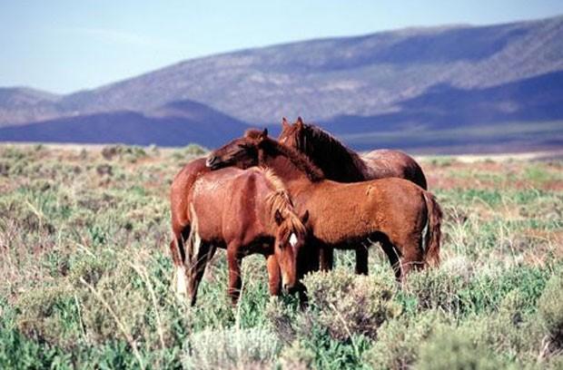 Exemplares de cavalos selvagens que vivem em área dos Estados Unidos (Foto: Divulgação/Bureau of Land Management)