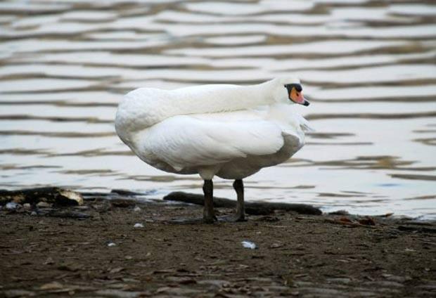 Em novembro de 2011, um cisne foi fotografado em uma posição curiosa às margens do rio Vltava, em Praga, na República Tcheca. A ave estava com a cabeça virada, dando a impressão que seus pés estavam para trás, lembrando a figura do folclore brasileiro 'Curupira', que tem como característica principal justamente os pés em posição invertida. (Foto: Michal Cizek/AFP)