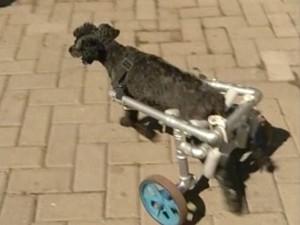 Cadela caminha apenas com 'cadeira de rodas' adaptada (Foto: Reprodução/TV TEM)