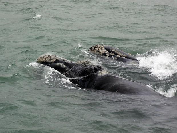 Baleias foram avistadas com pedaços de rede presos (Foto: Paulo Flores/CMA/ICMBio)