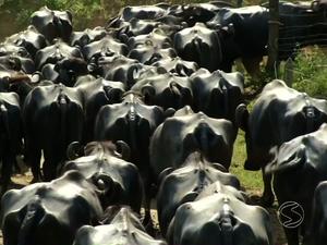 Búfalos pastam em fazendas histórias do Vale do Café (Foto: Reprodução/TV Rio Sul)