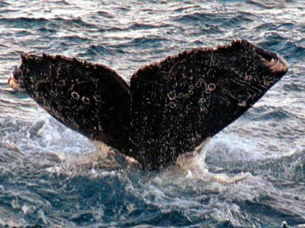 Baleia foi reavistada no sul do litoral baiano. (Foto: Divulgação/ Instituto Baleia Jubarte)