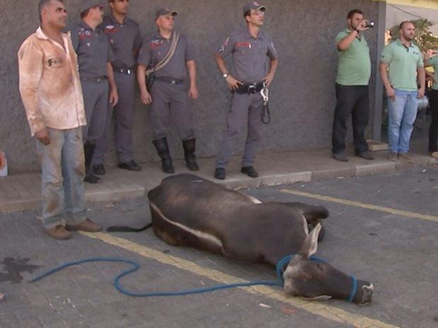 Bois escapam de frigorífico e causam tumulto nas ruas de Rio Preto (Foto: Reprodução/TV TEM)