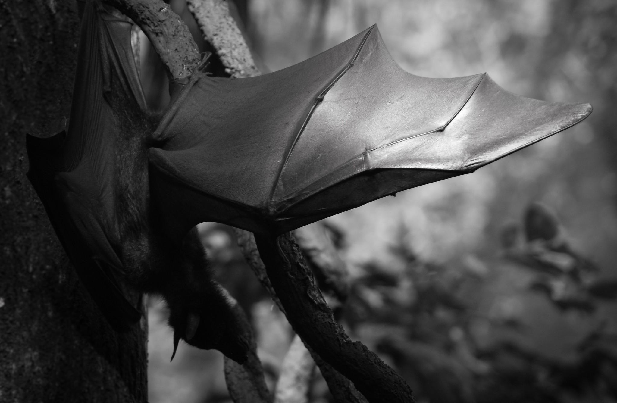 A ideia era que mil morcegos atrelados a bombas-relógio fossem colocados dentro de uma grande bomba (Foto: Flickr/João Santos)