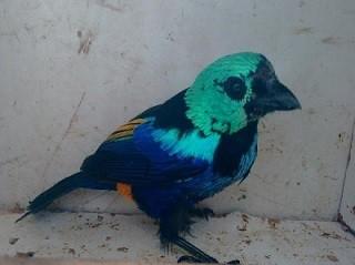 Pássaro pintor sete cores está ameaçado de extinção. (Foto: Divulgação/ BPA)