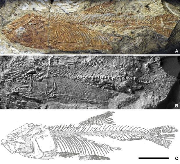 Fóssil bruto (acima); num molde de látex (centro); e desneho com detalhes anatômicos (abaixo) (Foto: Cesar Amaral)