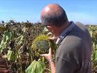 Excesso de umidade dificulta a colheita do girassol em MT