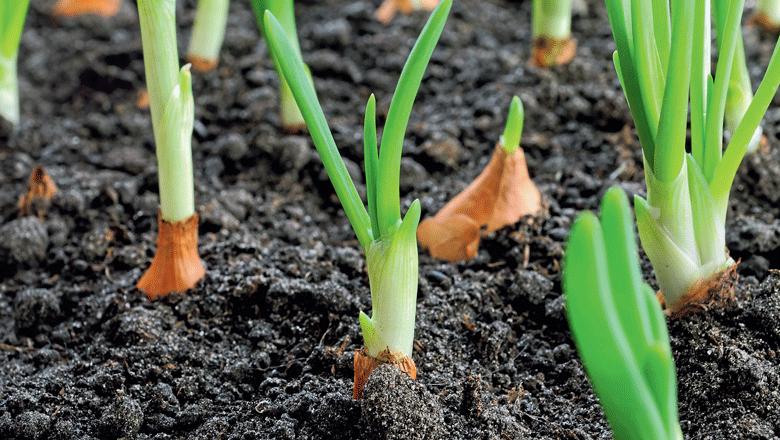 como-plantar-cebola-edicao-374-dezembro-2016 (Foto:  )