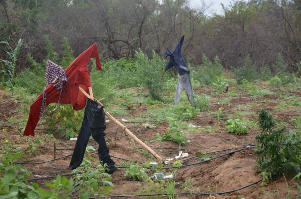 Traficantes usaram espantalhos para que fossem confundidos com agricultores (Foto: Divulgação / Polícia Federal)