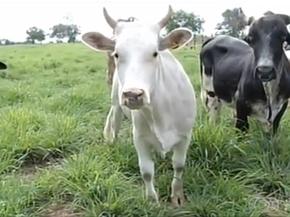 As minivacas podem produzir mais leite que as vacas tradicionais (Foto: Reprodução/TV Anhanguera)