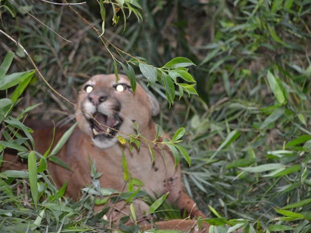 Pumas são monitorados no Parque  (Foto: Divulgação)