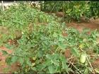 Agricultora se surpreende com jiló gigante no quintal de casa no TO