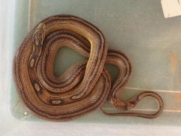 Réptil é um exemplar exótico da espécie conhecida como cobra-do-milho (Foto: Ibama/Divulgação)