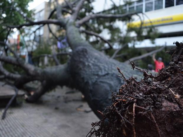 Árvore caiu na Praça José Bonifácio, em Piracicaba (Foto: Thomaz Fernandes/G1)