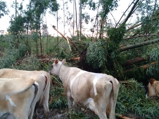 Árvores caíram sobre rebanho em Campo Erê e dois animais morreram, segundo bombeiros (Foto: Bombeiros/Divulgação)