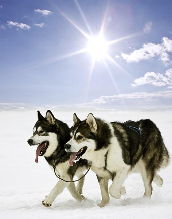 Husky Siberiano (Foto: thinkstockphotos)