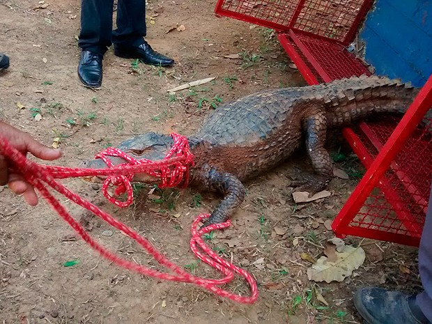 Jacaré de 2 metros é encontrado em universidade de Salvador, na Bahia (Foto: Divulgação/ Ucsal)