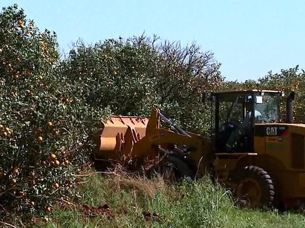 Cerca de 22 mil hecatares de pomares foram erradicados, diz Fundecitrus (Foto: Rodrigo Sargaço/EPTV)