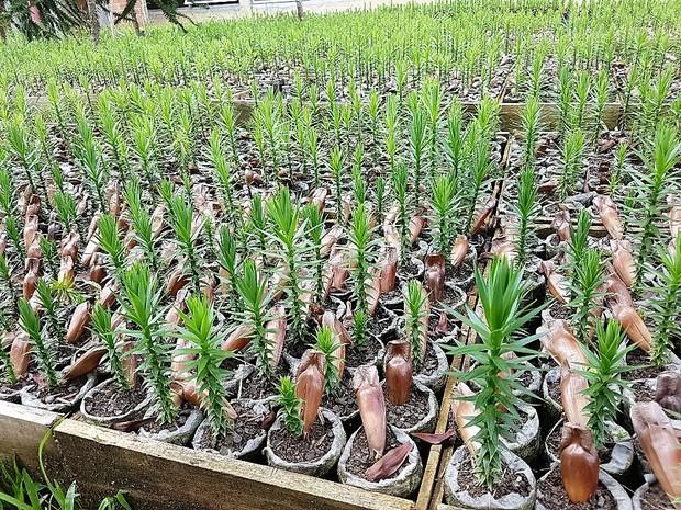 UFPR distribui mudas de Araucárias (Foto: Divulgação/ UFPR)