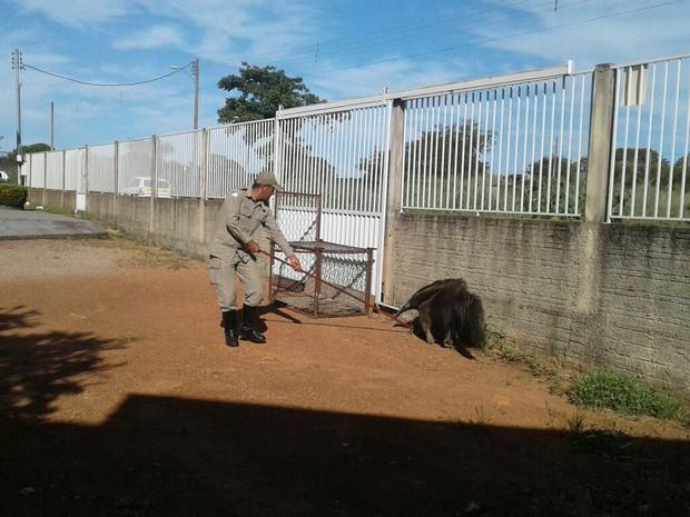 Tamanduá fêmea tem mais de 1, 5 metro e cerca de 41 quilos  (Foto: Divulgação)