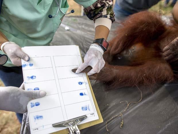 Orangotango apreendido em 2008 em atividade de entretenimento na Tailândia passa por exame para voltar à Indonésia (Foto: REUTERS/Athit Perawongmetha)