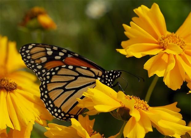 Borboleta-monarca como as estudadas pelos cientistas canadenses (Foto: Divulgação/Universidade de Guelph/Jessica Linton)