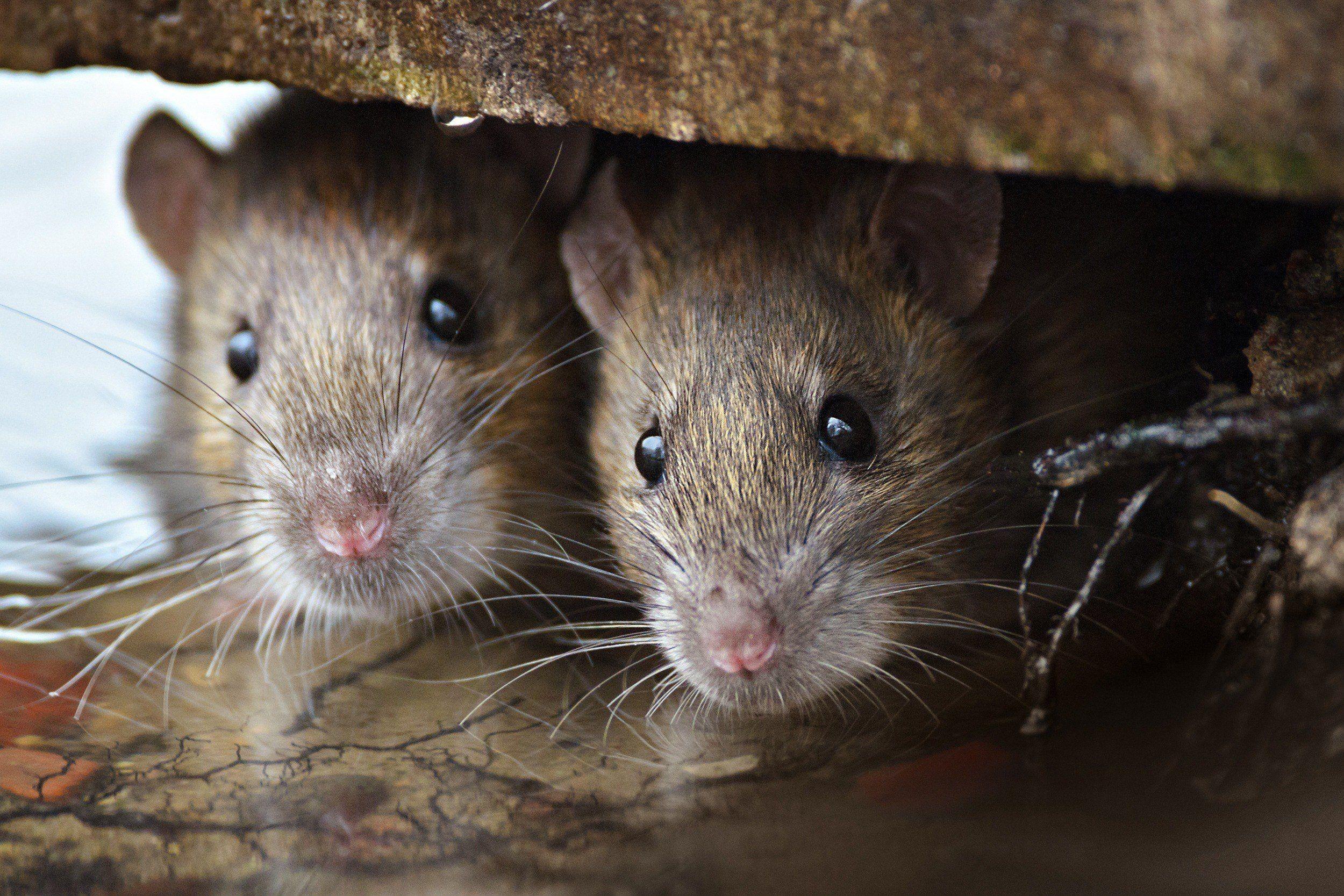 Arganaz do campo é um dos únicos roedores com relacionamentos estáveis  (Foto: Creative Commons)